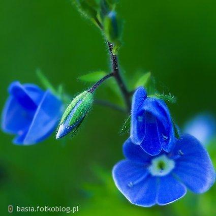 niebieska piekność