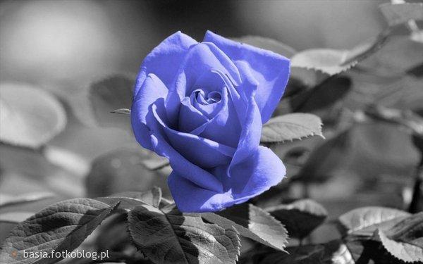 Róża...