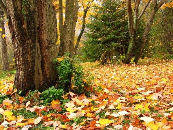 kolorowy jesienny dywan...