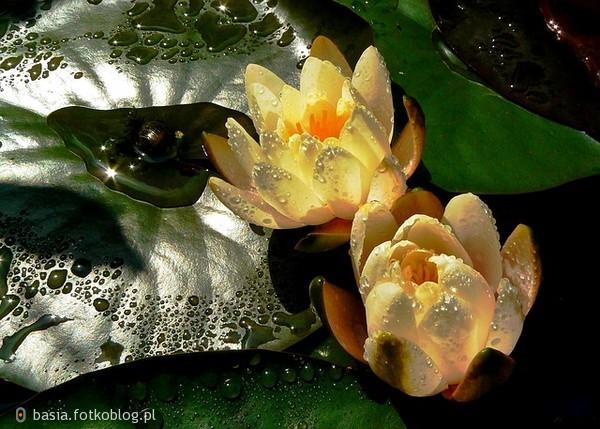 Nenufary...czyli piękne wodne lilie..