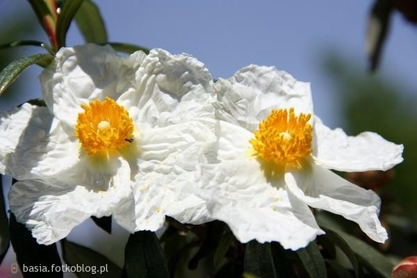Czystek...pomarszczony kwiatek