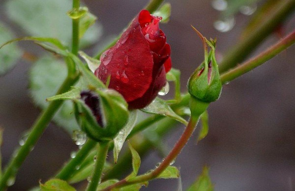 kropelkowa róża