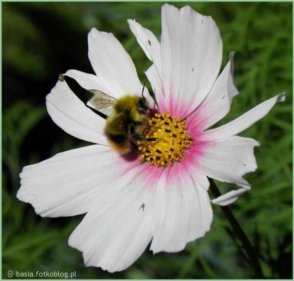 pracowita pszczółka..