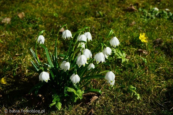 zwiastuny wiosny...przebiśniegi