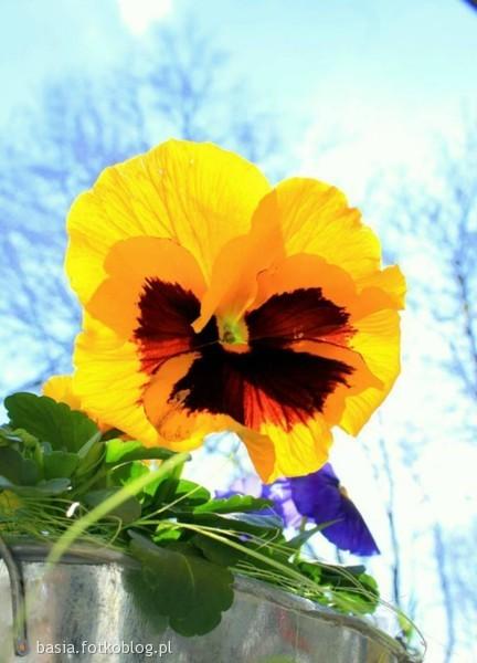 Róża Piękna lecz swe kolce posiada , bratek , choć mały i wstydliwy , lecz w swoim rodzaju bardzo urodziwy !!!