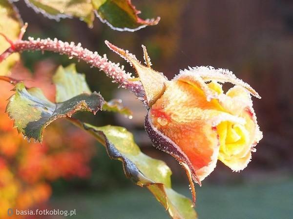 Kwiaty na to są, ażeby więdły, ale serca są, aby kochały.