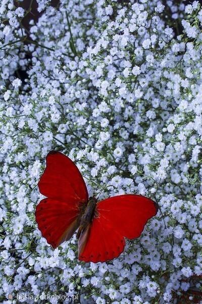 ..i tak z kwiatka na kwiatek....jak to motylek