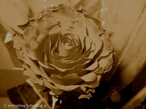 Miłość jest jak róża - piękna, ale potrafi ranić...