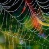 Tęczowa pajęczynka  ::
