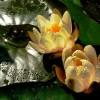Nenufary...czyli piękne wodne lilie..  :: dlatego troszke ostrzejsza muza...