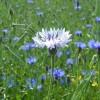 chabry..niebieskie gwiazdki..  :: a tu biały chaberek..