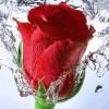 Szczegółowo analizując płatki nikt jeszcze nie pojął piękna róży.  ..  :: RÓŻA ma kolce -kłując zadaje ranyczłowiek jednak cierpi bardziej gdy kocha&