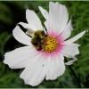 pracowita pszczółka..  ::