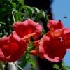 ..będę lądowała  :: Śliczne kwiaty milinu, a bzyczek  wybiera do którego dolecieć..:)