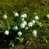 zwiastuny wiosny...przebiśniegi  ::