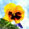Róża Piękna lecz swe kolce posiada , bratek , choć mały i wstydliwy , lecz w swoim rodzaju bardzo urodziwy !!!    :: Miłego weekendu!!