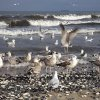 ..uczta na plaży....  :: ..duzo małż ,duzo mew .Ten widok i śpiew ptaków na tle szumiącego morza to jest to!!!!!.F
