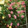Moje Róże  :: Pozdrawiam serdecznie